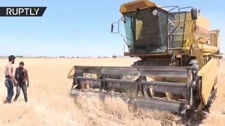 في حلب.. زراعة أول محصول القمح منذ تحرير المدينة