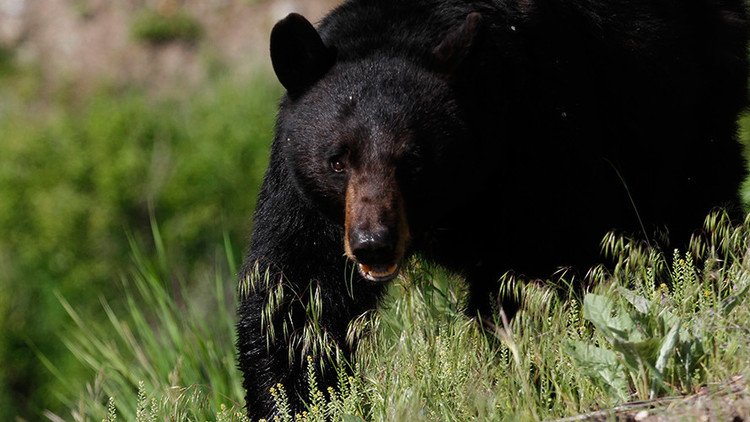 عدّاء يراسل والدته أثناء مواجهته الموت أمام دب أسود في ألاسكا