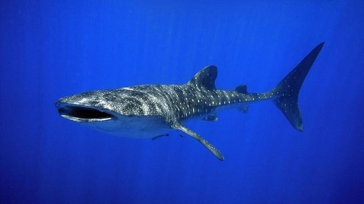 بالصور والفيديو.. سمكة قرش ضخمة تحتل خليج