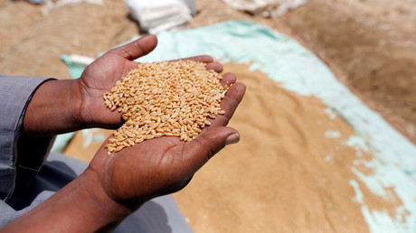 القمح المصري