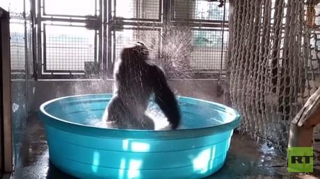 تعرف على غوريلا راقصة من حديقة حيوانات دالاس