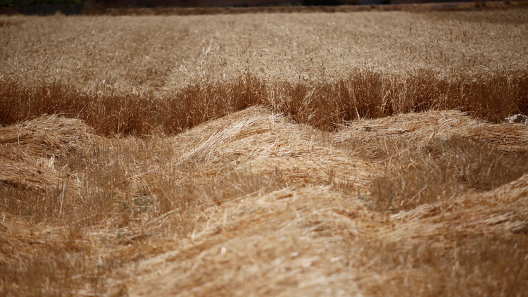 سوريا.. محصول القمح ضئيل وتوقعات باستمرار أزمة الغذاء لسنوات