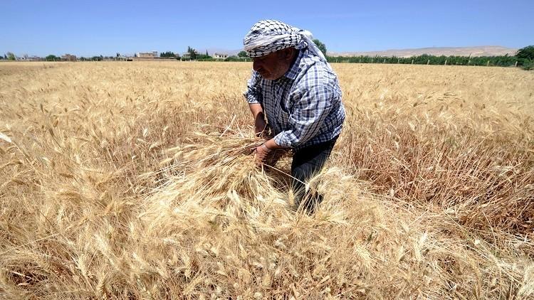 محصول القمح في سوريا  يرتفع 12%