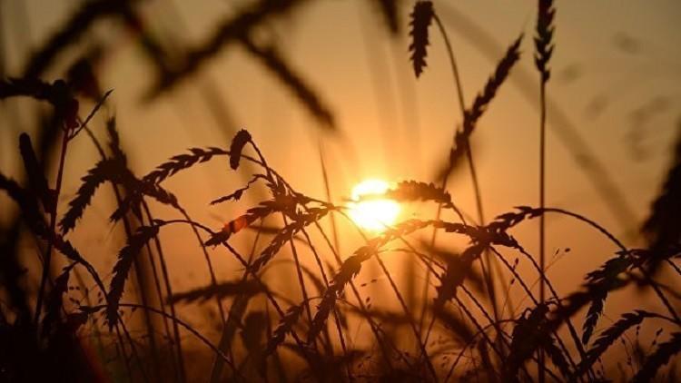 الحرارة المرتفعة تقيد صادرات الحبوب في منغوليا