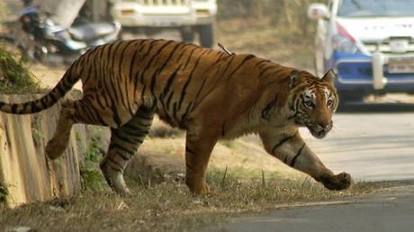 نمر مخطط يتجول في إحدى الشوارع في الهند