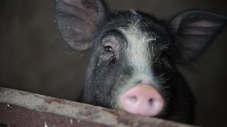 ترامب يتوعد إرهابيي برشلونة بدم الخنازير!