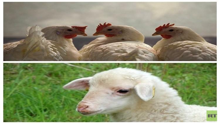 خروف عيد الأضحى يتحول إلى دجاجة