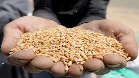 سوريا.. تحديات تواجه قطاع الحبوب