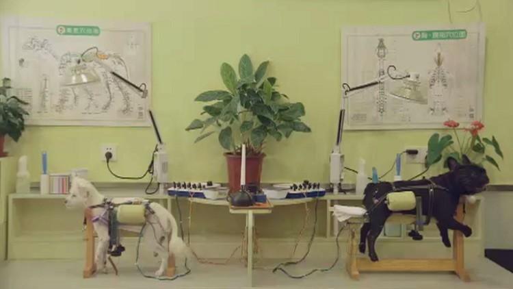 عيادة تعالج الحيوانات بالإبر الصينية