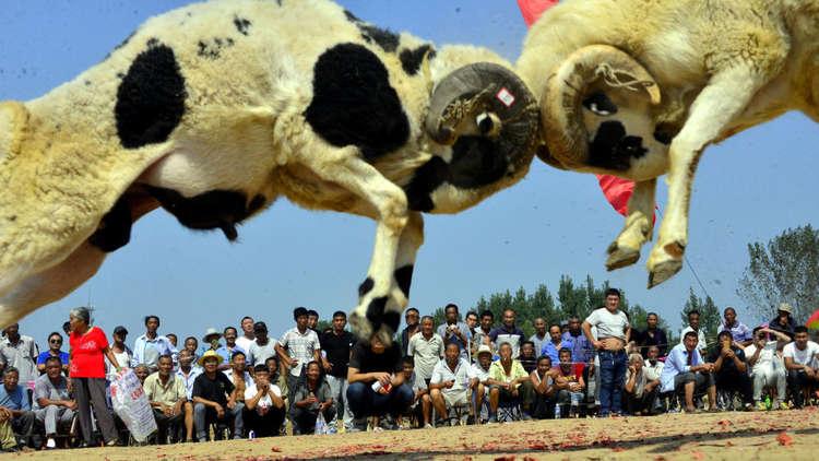 صراع الأغنام في قرية لياوشنغ بمقاطعة شاندونغ في الصين يوم 12 سبتمبر 2017