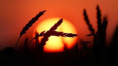 أوكرانيا تخسر سوق الحبوب المصرية لصالح روسيا