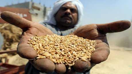وصول شحنة قمح إلى مصر ملوثة بالخشخاش