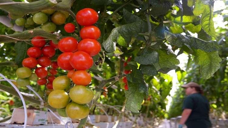 الطماطم التركية ستملأ رفوف السوق الروسية