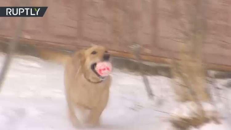 هذا الكلب سيساعد الجيش السوري في البحث عن الألغام المزروعة