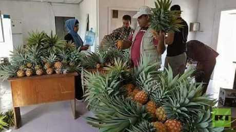 للمرة الأولى.. زراعة فاكهة استوائية في قطاع غزة