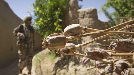 زهرة الخشخاش (الأفيون) - أفغانستان - أرشيف