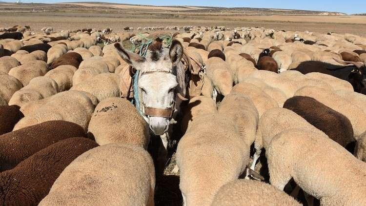 الصين تنعش سوق الحمير في نيجيريا