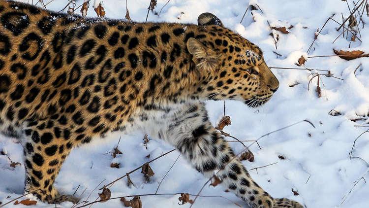 نمر مهدد بالانقراض يظهر أمام عدسات المسافرين شرق روسيا