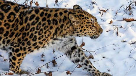 قطة من نوع نمر آمور