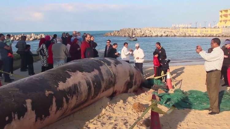 العثور على حوت عملاق نافق على شاطئ الإسكندرية المصرية