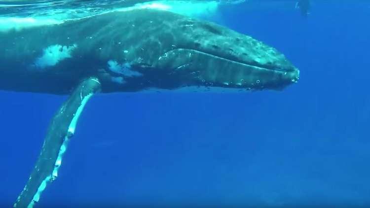 في مشهد مؤثر.. الحوت الأحدب ينقذ امرأة من فك قرش النمر!