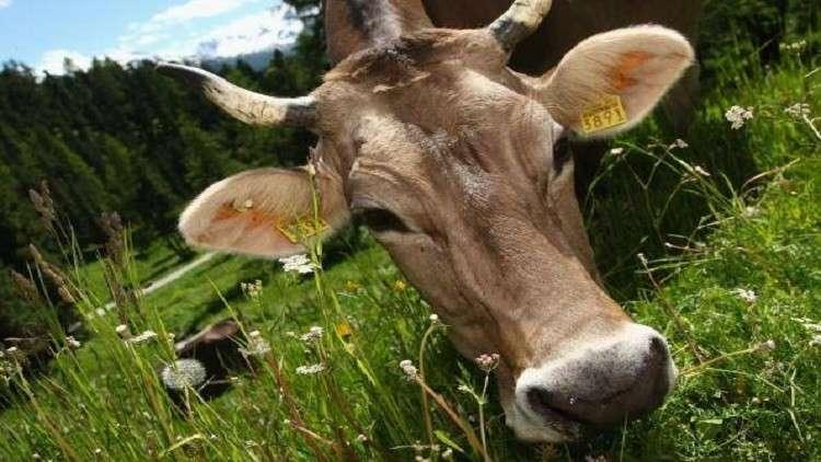 كيف يمكن للأبقار القضاء على الأوبئة القاتلة؟