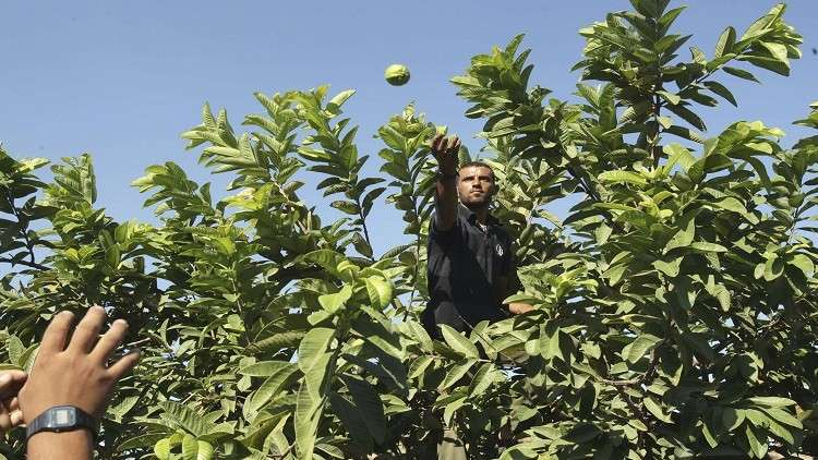 السعودية تحظر استيراد الجوافة المصرية