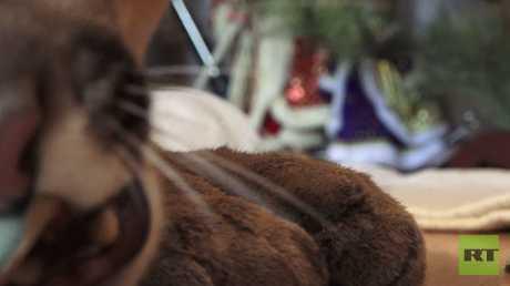 عائلة روسية تقتني حيوان أسد الجبل المفترس وتطلق عليه إسم ميسي