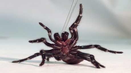 عنكبوت سيدني قمعي الشبكة