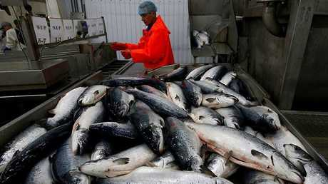 النرويج تفشل في إيجاد أسواق بديلة لأسماكها في ظل الحظر الروسي