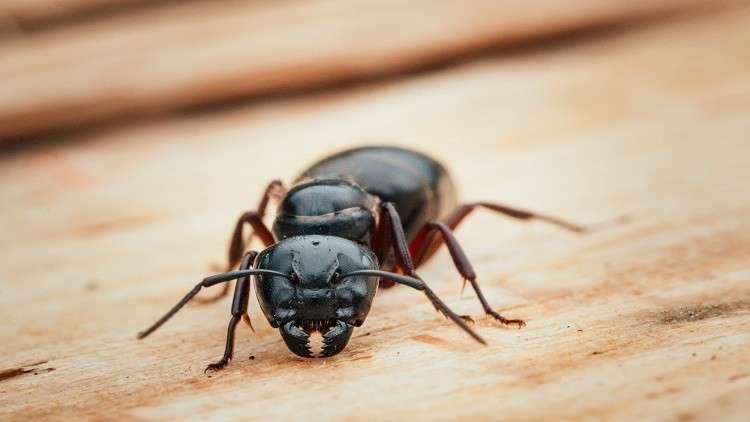 النمل المسعف ينقذ الجرحى ويجلي المصابين! (فيديو)