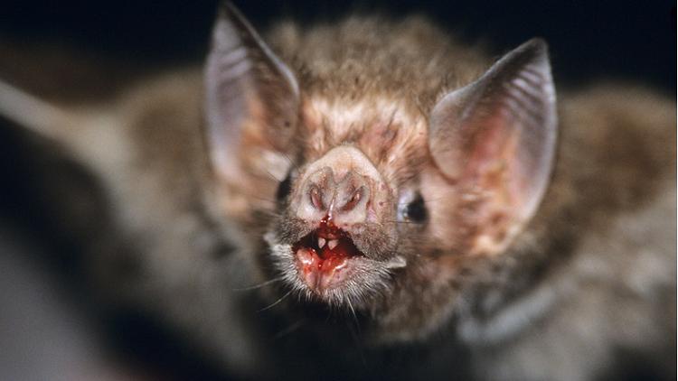 وأخيرا .. حل لغز ثدييات تتغذى بالدم فقط