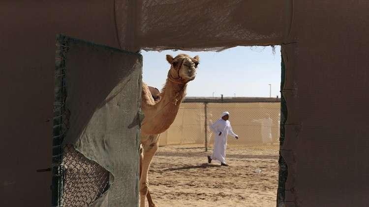 الإمارات تعتزم تصدير حليب النوق لروسيا