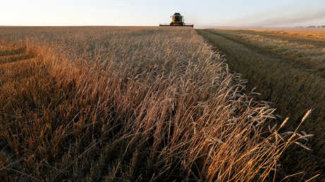 حقول القمح في روسيا