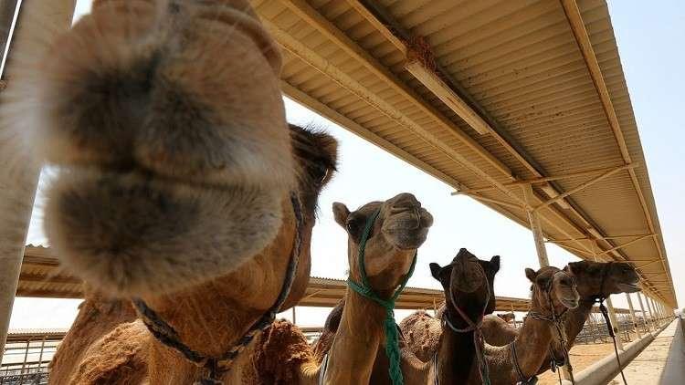 قانون سعودي يفرض زرع الرقائق الإلكترونية في الإبل