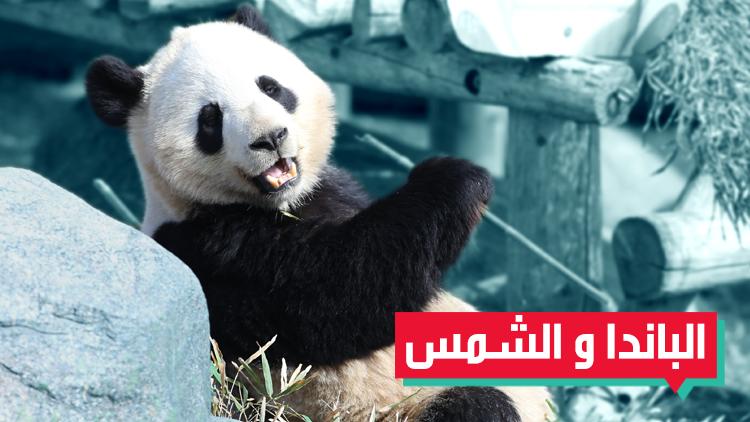 الاحتفال بالربيع عند الباندا مختلف