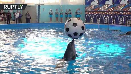 في روسيا حتى الدلافين ينتظرون المونديال!