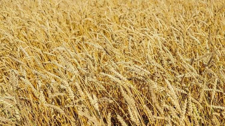 زيادة كبيرة في صادرات الحبوب الروسية