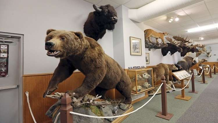 ما علاقة البشر بانقراض الثدييات كبيرة الحجم؟