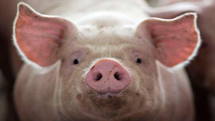 حفظ أدمغة الخنازير حية خارج أجسامها لأول مرة على الإطلاق