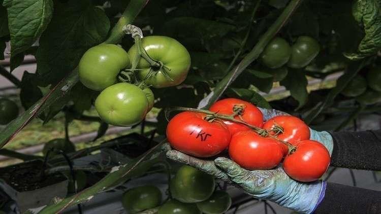 روسيا ترفع الحظر عن استيراد الطماطم التركية
