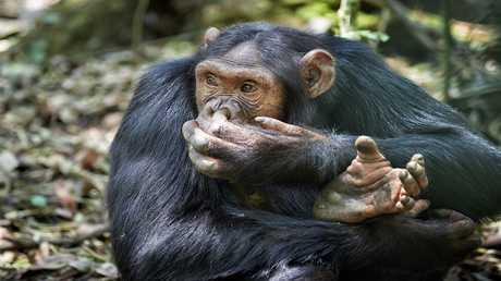 عادات الشمبانزي الغذائية قد تقدم أدلة حول التطور البشري!