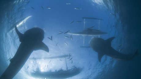 أسماك القرش العملاقة تتجمع قرب السواحل الأمريكية