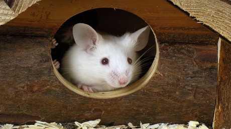 زرع مخ بشري في رؤوس الفئران