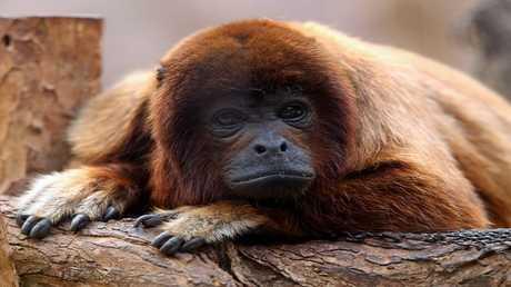 لأول مرة .. اكتشاف تزاوج القردة مع أنواع أخرى