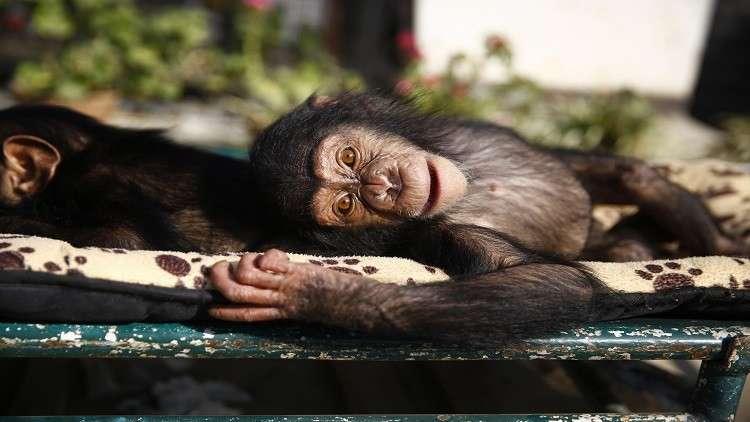 فراش الشمبانزي أنظف من سرير الإنسان!