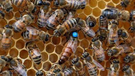 خطر تدهور أعداد النحل على أمن الغذاء العالمي!