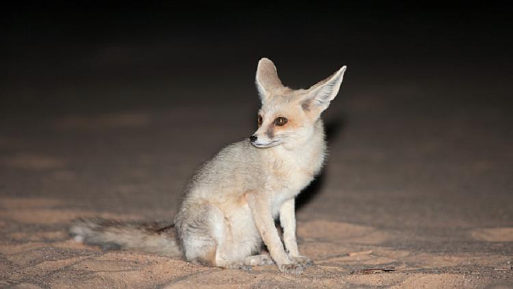 3 حيوانات برية يصعب العثور عليها خارج الخارطة العربية (صور)