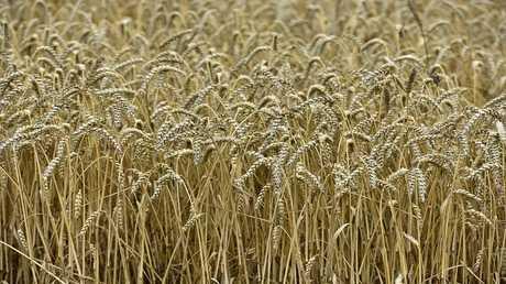 مصر تسمح بدخول شحنة القمح الروسي بعد إعادة فحصها