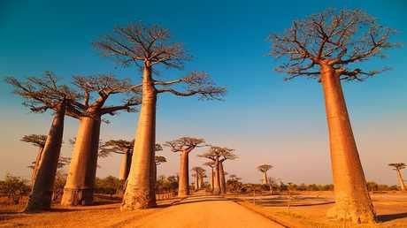 أقدم وأغرب أشجار أفريقيا تموت بشكل غامض
